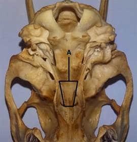 ventral view deer skull